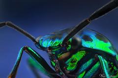 Metallic Shield Bug (Yousef Al-Habshi) Tags: ma