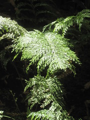Various Fern Plants (shaire productions) Tags: plants plant fern nature photo natural image photographs photograph vegetation imagery