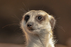 Meerkat (salnel) Tags: mygearandme mygearandmepremium mygearandmebronze mygearandmesilver ringexcellence dblringexcellence tplringexcellence flickrstruereflection1 flickrstruereflection2 flickrstruereflection3 flickrstruereflection4 flickrstruereflection5 flickrstruereflection6 eltringexcellence allofnatureswildlifelevel1 allofnatureswildlifelevel2 allofnatureswildlifelevel3 allofnatureswildlifelevel4 rememberthatmomentlevel1 flickrsfinestimages1 flickrsfinestimages2 flickrsfinestimages3 rememberthatmomentlevel2 rememberthatmomentlevel3 me2youphotographylevel2 me2youphotographylevel3 me2youphotographylevel1 me2youphotographylevel4 flickrstruereflectionlevel6