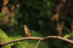 Kingfisher (BorisWorkshop (130k+ views, thanks)) Tags: taiwan kingfisher alian