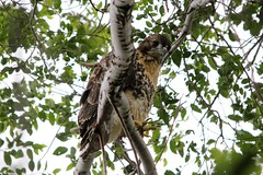 Maybe they'll leave me alone if I ignore them (jamescastle) Tags: nyc bird nature cathedral hawk manhattan wildlife redtailed morningside buteo
