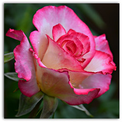 A June Rose (Eleanor (WHU)) Tags: rose garden thelook flowerbasket floralfantasy perfectpetals flowersarebeautiful worldofflowers flickrsawesomeblossoms amazingdetails passionforflowers unforgettableflowers addictedtoflowers flowersonflickr weallloveflowers beautifulflowergroup flowers4you brigettesbeautifulnaturegallery certifiedphotographerlevel1 madaboutflowers anythingnikonexceptpeople