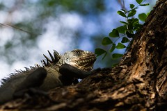 Iguana in the tree (@nico_b) Tags: iguana iguane frenchwestindies iletchancel