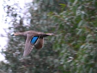 Pacific Black Duck1