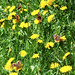 Red Admiral butterflies on dandelions, in migration at North River. Photo: Louis Falzerano.