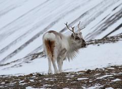 Svalbard Reindeer IMG_0624 (grebberg) Tags: reindeer svalbard april spitsbergen 2012 longyearbyen svalbardreindeer rangifertarandusplatyrhunchus