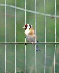Cage Bird (Mr Grimesdale) Tags: goldfinch finch britishbirds stevewallace mrgrimesdale