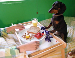 dachshund-breakfast-in-bed (Crusoe the Celebrity Dachshund) Tags: funnydog mothersday breakfastinbed breakfastinbeddog