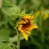 el Girasol (m@®©ãǿ►ðȅtǭǹȁðǿr◄©) Tags: barcelona flowers españa flores canon amarillo sunflower catalunya ripollet girasoles canonef50mmf18ii canoneos400ddigital elgirasol m®©ãǿ►ðȅtǭǹȁðǿr◄© marcovianna