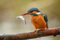 Kingfisher with silver fish (Novisteel) Tags: rain birds spring flickr wildlife kingfisher ngdphotos