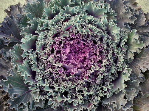 Roadside Cabbage