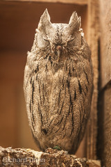 Striated Scops owl (Richard Olpin LRPS) Tags: bird animal fauna flickr wildlife owl online herefordshire kington owlcentre striatedscopsowl