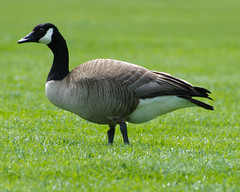 Canada Goose (C-Dals) Tags: ontario canada bird nikon ottawa nikkor canadagoose 70300mmf4556gvr d5100