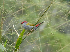 Red Browed Finch 17-16-07 (Rodger1943) Tags: australianbirds panasonicfzseries panasoniclumixaustralia panasonicusersgroup panasonicfz150amateurs
