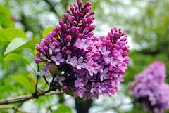 Lilac~ (Ann Mari) Tags: lilac