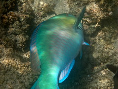 Bluechin Parrotfish (Scarus ghobban) (manzanita-pct) Tags: fish mexico underwater bajacalifornia reef