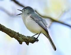 Blue-gray Gnatcatcher (jannagal) Tags: bird nature canon spring lakeerie singing bokeh michigan wildlife gnatcatcher bluegraygnatcatcher polioptilacaerulea lakeeriemetropark jannagal jannagalski