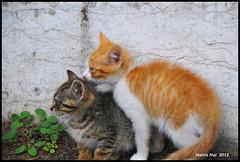 Kittens Need Your Help - Lisbon N10211e (Harris Hui (in search of light)) Tags: harrishui nikond300 nikonuser nikon d300 vancouver richmond bc canada vancouverdslrshooter