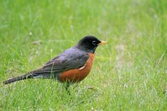 American Robin (K Fletcher) Tags: canada calgary bird alberta americanrobin inglewood