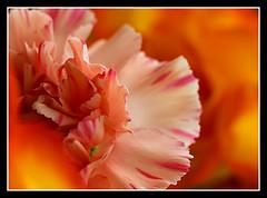 Colour Mix (arizonafriend) Tags: pink red orange flower macro nature gold petals colours carnation panasonicdmctz3 flickrstruereflection1 flickrstruereflection2 flickrstruereflection3