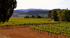 Vinyes del Penedes, Ca l'Avi, Subirats (Angela Llop) Tags: spain eu catalonia vineyards penedes vitisvinifera tourismuspenedes