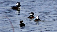 ducks (ènfin (verna R)) Tags: top20blue