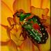 Stepahnorrhina guttata auf Blüte (3)