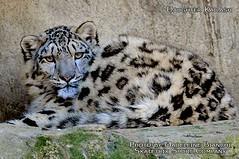 Snow Leopard Girl KAILASH (erixxson) Tags: china nepal pakistan india afghanistan cat asia bhutan russia wildlife leopard centralasia snowleopard unciauncia ericmaurer madeleinebianchi skatetrix skatetrixsportcompany