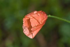 Poppy In Spring Rain (aeschylus18917) Tags: flowers orange flower macro nature rain japan season spring nikon waterdrop blossom poppy bloom raindrops  bud saitama  raindrop papaver sayama rainyseason saitamaken  waterdroplet papaveraceae 105mm  105mmf28  tsuyu 105mmf28gvrmicro   saitamaprefecture  d700 nikkor105mmf28gvrmicro  baiu nikond700 sayamashi danielruyle aeschylus18917 danruyle druyle