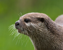 Asian Short-Clawed Otter (Leighton_Cooksey) Tags: nikon wildlife otter 70200mmf28gvr d80 asianshortclawedotter wildfowlwetlandstrust tc20eiii washingtonwildfowlwetlandstrust