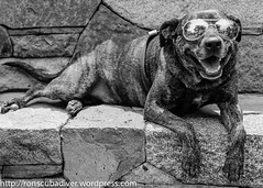 A Very Cool Dog (Ron Scubadiver's Wild Life) Tags: travel blackandwhite dog newmexico santafe sunglasses stone nikon