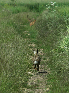 Hare running down the track