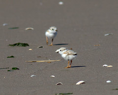 Piping Plover chick (darylcav) Tags: approved pipingplover breezypoint pipingploverchick pipingploverfledgling