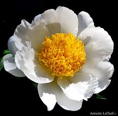 Full White Peony Yellow Center (Annette LeDuff) Tags: flower nature flora natureza peony ohno array favorited musictomyeyes darkbackground floralfantasy thegalaxy topshots perfecttouch bej perfectpetals simplywonderful mosfotogarten energiapositiva macroelsalvador natureselegantshots flowerbudsandblossoms damniwishidtakenthat flickrsawesomeblossoms nikonflickraward theeliteofflickrsawesomeblossoms tuttiflores panoramafotográfico naturescreations florisbella thebestofmimamorsgroups blackintheback universeofnature mamasbloomers worldofflower energiapositivaartecor theoriginalgoldsealofquality theoriginalgoldseal exoticimage mygearandme mygearandmepremium mygearandmebronze mygearandme1 mygearandme3bronzeselection mygearandme2premium opequenogigante–sómacros galeriadascores floraaroundtheworld artistoftheyearlevel2 notanotherflower aboveandbeyond500l1 photoannetteleduff annetteleduff artselectedbyadministrators photographicworld awesomelycreativeforedinei includedingalleries grandesflores thesunshinegroup sunrays5 katiesflowerbasket thelooklevel1red thelooklevel2yellow thelooklevel3orange thelooklevel4purple ourwonderfulandfragileworld thelooklevel5green thelooklevel6blue thelooklevel7white thelooklevel8gold madaboutflowers 06192012 groupreflectionsofpassion bewiahn vigilantphotographersunite