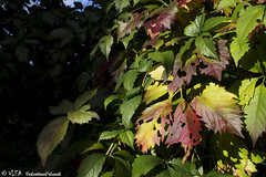_MG_6759 (VLEA photographer) Tags: blue autumn red green leaves berries tuscany