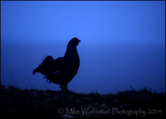 Black Grouse Dawn (Mike Warburton Photography) Tags: blue colour nature birds wales sunrise canon dawn spring wildlife sigma sillouette predawn lek 50d blackgrouse