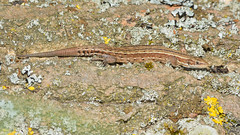 Common Lizard (image 1 of 3) (Full Moon Images) Tags: nature reptile wildlife bcn reserve lizard national trust common fen cambridgeshire woodwalton nnr greatfen greatfenproject