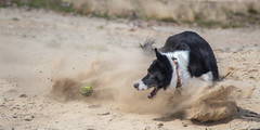 Don't Let the Ball Escape (Bas Bloemsaat) Tags: dog ball sand action dune sheepdog chase bordercollie dust fetch