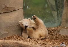 Eisbr Lilli im Zoo Bremerhaven 30.04.2016 Teil 2  67 (Fruehlingsstern) Tags: sunset sonnenuntergang polarbear lloyd lili bremerhaven zooammeer valeska eisbr canoneos750 tamron16300