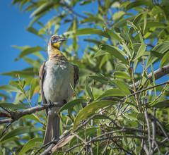 Little Friarbird (Philemon citreogularis) (peter.carlsen) Tags: birds australianwildlife petercarlsen nikond7100 tamron150300mm