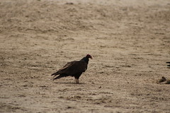 IMG_4551 (californiajbroad) Tags: bird nature turkey outdoors wildlife vulture