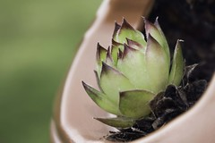 New Digs (Radiogal73s) Tags: green succulent chick pot hen mulch