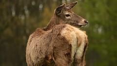 Deer (sophiehep) Tags: park fur stag wildlife doe bum deer wollaton