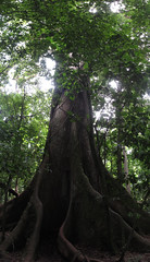"Parc National Arenal: immense ceiba <a style=""margin-left:10px; font-size:0.8em;"" href=""http://www.flickr.com/photos/127723101@N04/26807248322/"" target=""_blank"">@flickr</a>"