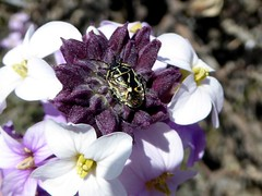 Alheli flower with a bug visitor (Linda DV) Tags: travel flowers holiday nature landscape geotagged volcano nationalpark spain europe panasonic tenerife teide canaryislands islascanarias 2016 explorenature teidenationalpark lindadevolder