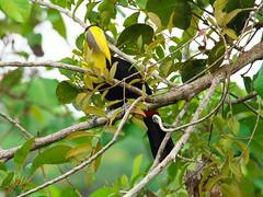 P4278764 (lychee_vanilla) Tags: bird animal toucan costarica tier tucn blackmandibledtoucan ramphastosambiguus vigel quioro tucnpiconegro