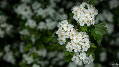 Hawthorn (Crataegus) (BraCom (Bram)) Tags: flowers holland netherlands closeup canon spring dof blossom widescreen nederland depthoffield nl 169 lente bloesem bloemen hawthorn zuidholland goereeoverflakkee voorjaar meidoorn crataegus southholland scherptediepte ooltgensplaat canonef24105mm bracom canoneos5dmkiii bramvanbroekhoven haagdoorn steendoorn