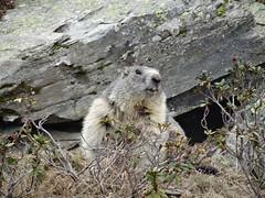 DSC01865 (bleausard2) Tags: marmot murmeltier marmotte mungg