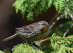 Red-winged Blackbird Female-6