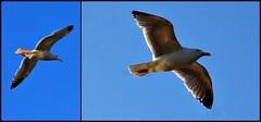 10 - Saint-Malo, Grand B, Vol de goland dans la lumire du soir (melina1965) Tags: sea sky bird birds collage nikon mosaic collages seagull gull gulls may mosaics bretagne mai ciel oiseau saintmalo oiseaux mosaque mosaques goland 2016 illeetvilaine golands d80
